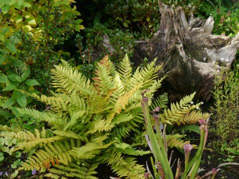 """Osmundastrum cinnamomeum, Zimtfarn, """"Spetzertuun"""", Waldgarten Amanda Peters"""