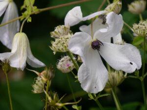 "Clematis viticella ' Alba Luxurians', ""Spetzer-Tuun, Waldgarten Amanda Peters"