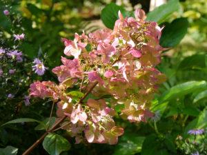 """Hydrangea paniculata 'Magical Fire', """"Spetzer-Tuun"""", Waldgarten Amanda Peters"""