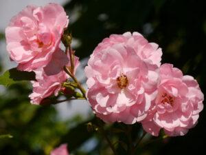 Rosa 'Bonica 82' in Wurzerlsgarten
