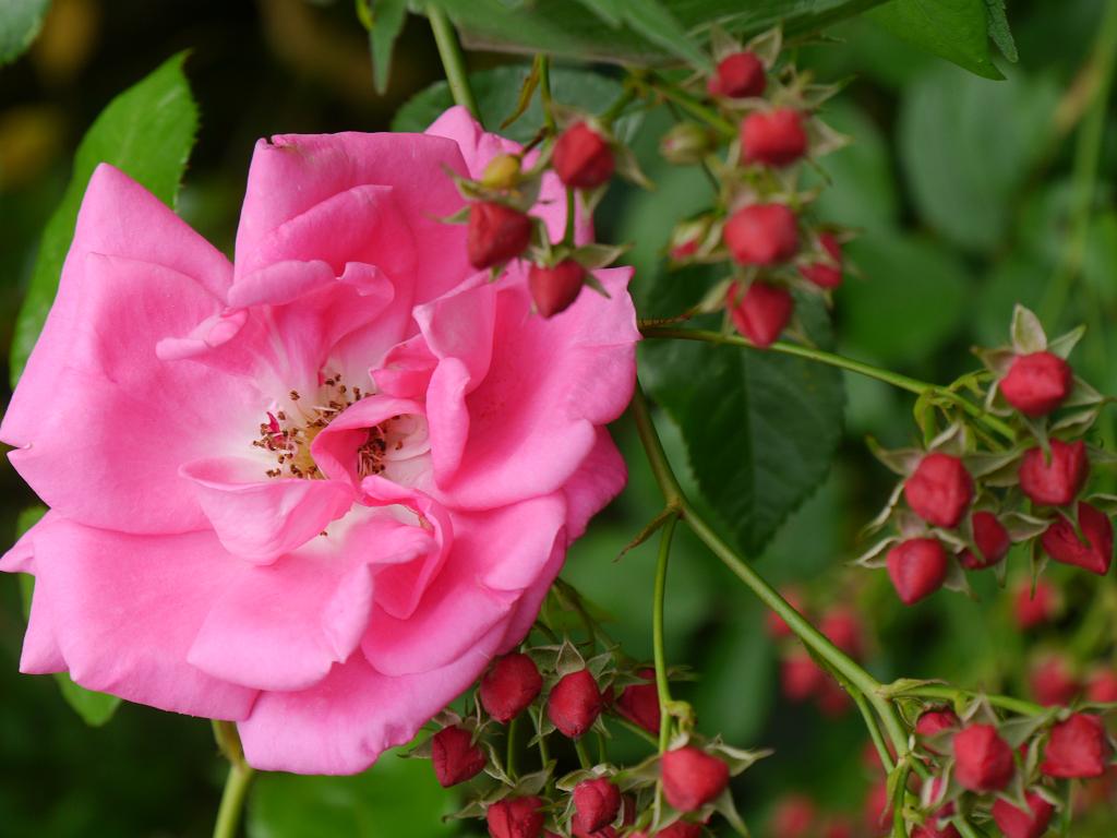 Rosa 'Morning Jewel' und die Knospenrose in Wurzerlsgarten