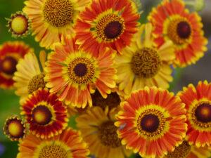 Helenium autumnale 'Mariachi' Serie 'Fuego', Wurzerls Garten