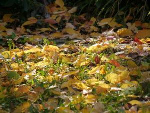 Zierkirschenlaub in der Wiese in Wurzerlsgarten