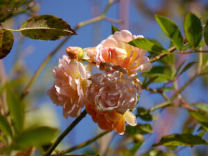 Rosa 'Ghislaine de Feligonde', Wurzerls Garten