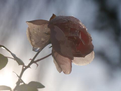 Rosa 'New Dawn' Dezember-Blüte. Werden Rosen bald ohne Ruhephasen durchblühen? Wurzerls Garten