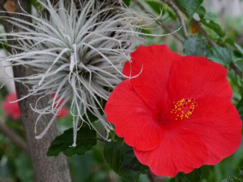 Hibiscus rosa-sinensis und Tillandsia, Wurzerlsgarten