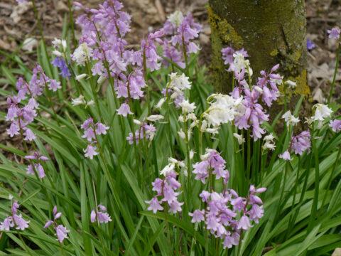 Hyacinthoides hispanica 'Rosea' und 'Alba' , Wurzerls Garten
