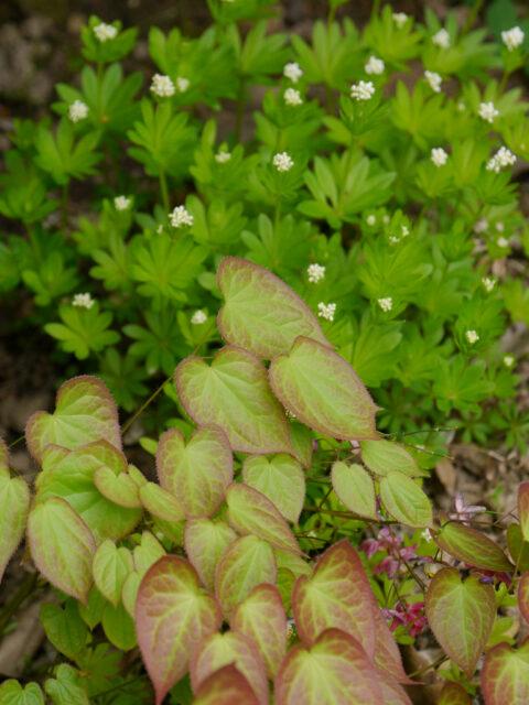 Epimedium rubrum, Galium odoratum, Wurzerlsgarten