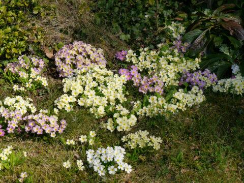 Primula vulgaris, Kissenprimeln, Wurzerlsgarten