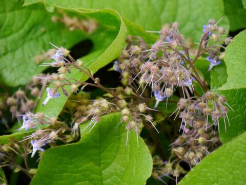 Trachystemon orientalis, Rauling