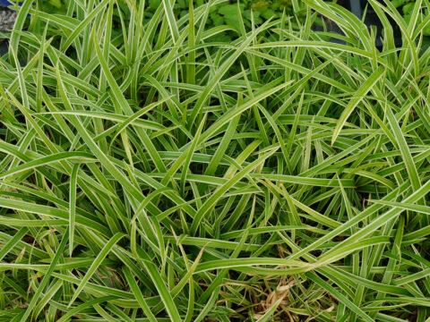 Carex morrowii 'Ice Dance', Weißbunte Japan-Segge, Wurzerlsgarten