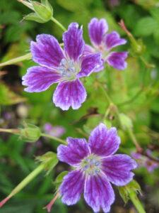 Geranium nodosum 'Whiteleaf', Wurzerlsgarten