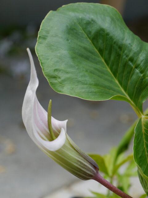 Arisaema candidissimum - Feuerkolben in Wurzerls Garten