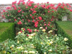 Rosa 'Bright Smile', vorne, Rosa 'Dortmund' hinten, Packwood House