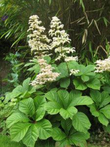 Rodgersia aesculifolia, Packwood House