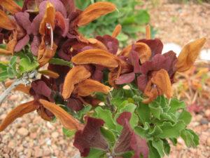 Salvia africana-lutea, Senkgarten, Packwood House
