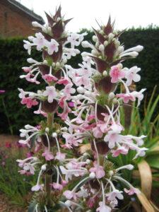 Morina longifolia, Packwood House