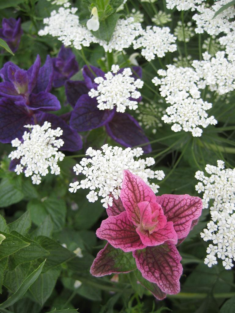 Salvia viridis, Kitchen Garden, Küchengarten, Packwood House