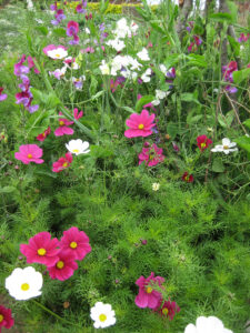 Cosmos bipinnatus, Schmuckkörbchen, Lathyrus odoratus, Duftwicken, Kitchen GardenPackwood House