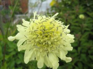 Scabiose, Kitchen Garden, Küchengarten, Packwood House