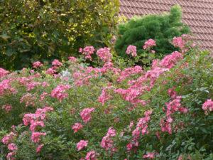 Rosenhecke 'Mozart', Fehngarten Koska, Vorgarten