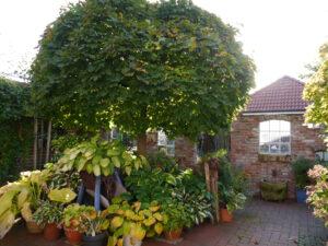 Acer platanoides 'Globosum', Atrium-Garten, Fehngarten Koska