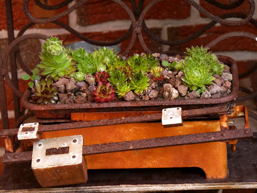 Sempervium in alter Küchenwaage, Fehngarten Ulrike Koska