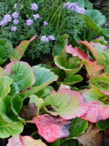 Herbstfärbung bei Bergenien, Fehngarten Ulrike Koska