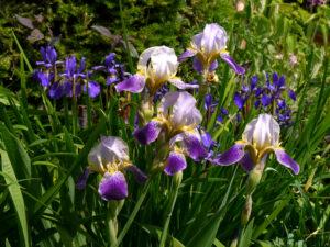 Verschiedene Iris-Sorten im Fehngarten Ulrike Koska