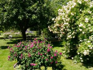 Rosa 'Charles de Mill' und Rosa 'Ghislaine de Feligonde', Visitengarten von Moorriem