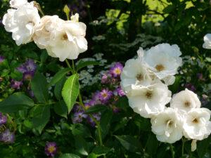Roseninsel im Visitengarten von Moorriem