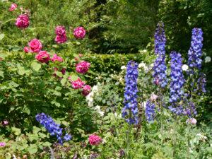 Delphinium 'Ouvertüre', Junigarten, Garten Moorriem