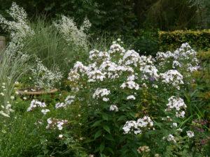 Phlox und Thalictrum delavayi 'Splendide White', (Delavays Wiesenraute), Junigarten, Garten Moorriem