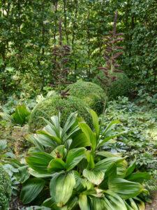 Veratrum nigrum, schwarzer Germer, Waldgarten, Garten Moorriem