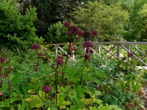 Angelica gigas, Engelswurz, Waldgarten, Garten Moorriem