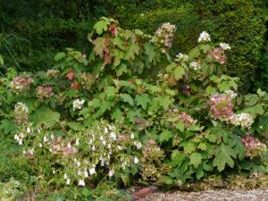 Eichblatt-Hortensie, Hydrangea quercifolia, Waldgarten, Garten Moorriem