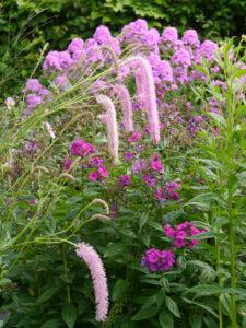 Sanguisorba 'Pink Brushes', Koreanischer Wiesenknopf, Wiesengarten, Garten Moorriem