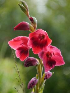 Gladiolus papilio 'Ruby', Wiesengarten, Garten Moorriem