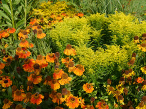 Helenium und Solidago, Wiesengarten, Garten Moorriem
