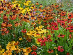 Helenium in Sorten, Garten Moorriem