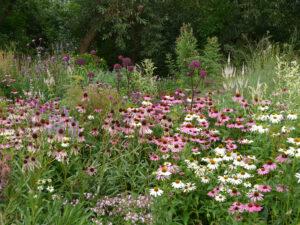 Echinacea purpurea 'Alba', Echinacea purpurea und pallida, Wiesengarten, Garten Moorriem