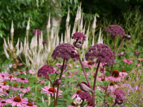 Angelica gigas, Echinacea purpurea, Wiesengarten, Garten Moorriem