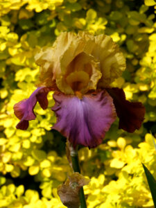 Iris barbata Hybride, Spätsommergarten, Garten Moorriem