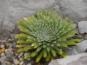 Saxifraga longifolia, SARASTRO Staudengärtnerei