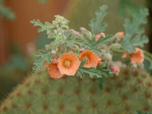 Sphaeralcea incana, die Wüstenmalve, SARASTRO Staudengärtnerei