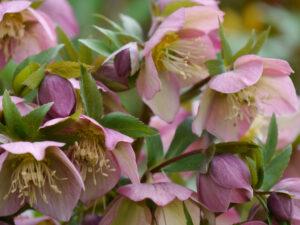 Helleborus x hybridus, Sämlinge im Steingarten in Wurzerlsgarten