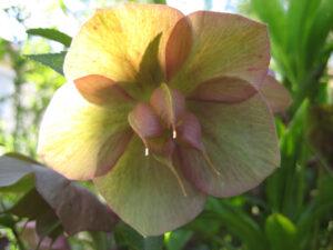Helleborus x hybridus mit Balgfrüchten, Wurzerlsgarten