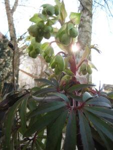 Helleborus foetidus 'Wester Flisk', Stinkende Nieswurz in Wurzerlsgarten