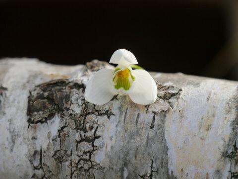 Galanthusblüte auf Birkenast in Wurzerlsgarten