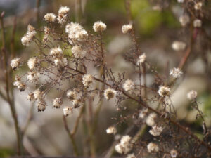 Samenstände können auch später geschnitten werden in Wurzerls Garten